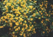 Butter Daisy, Melampodium, Gold Medallion Flower, Star Daisy