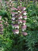 photo Garden Flowers Spiny bear's breeches, Acanthus burgundy