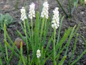 photo Garden Flowers Grape hyacinth, Muscari white