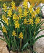 photo Garden Flowers Grape hyacinth, Muscari yellow