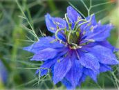 blue Love-in-a-mist