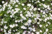 photo  Cup Flower, Nierembergia white