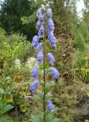 light blue Monkshood
