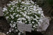 photo Garden Flowers Thymeleaf Sandwort, Irish Moss, Sandwort, Arenaria white