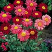 photo Garden Flowers Painted Daisy, Golden Feather, Golden Feverfew, Pyrethrum hybridum, Tanacetum coccineum, Tanacetum parthenium red