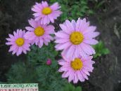 photo Garden Flowers Painted Daisy, Golden Feather, Golden Feverfew, Pyrethrum hybridum, Tanacetum coccineum, Tanacetum parthenium lilac