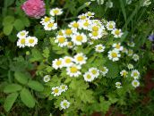 photo Garden Flowers Painted Daisy, Golden Feather, Golden Feverfew, Pyrethrum hybridum, Tanacetum coccineum, Tanacetum parthenium white