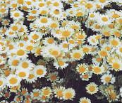 photo Garden Flowers Chamomile Lawn, Roman Chamomile, Anthemis nobile, Chamaemelum nobile white
