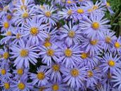 light blue Ialian Aster