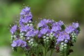 light blue Californian bluebell, Lacy Phacelia, Blue Curls, Caterpillar, Fiddleneck, Spider Flower, Wild Heliotrope