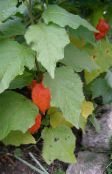Chinese Lantern Plant, Strawberry Ground Cherry