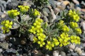 photo Garden Flowers Rydberg Twinpod, Double Bladderpod, Physaria yellow