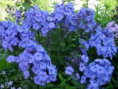photo Garden Flowers Garden Phlox, Phlox paniculata light blue