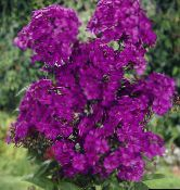 photo Garden Flowers Garden Phlox, Phlox paniculata purple