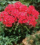 photo Garden Flowers Garden Phlox, Phlox paniculata red