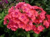 photo Garden Flowers Garden Phlox, Phlox paniculata orange