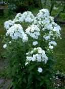 photo Garden Flowers Garden Phlox, Phlox paniculata white
