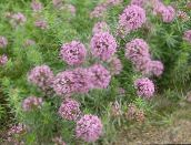 rose Crosswort