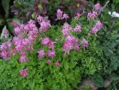 rose Corydalis