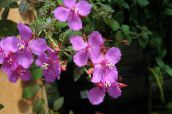 photo  Spanish Shawl, Princess Flower, Sea of Flowers, Centradenia pink