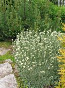photo Garden Flowers Antennaria, Cat's foot, Antennaria dioica white