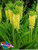 photo  Pineapple Flower, Pineapple Lily, Eucomis yellow