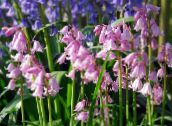 pink Spanish Bluebell, Wood Hyacinth
