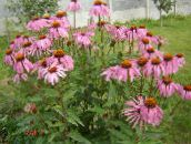pink Coneflower, Eastern Coneflower