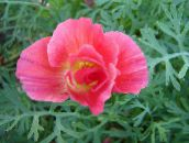 pink California Poppy