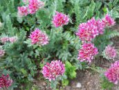 photo Garden Flowers Kidney Vetch, Lady's Fingers, Anthyllis pink