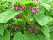 photo Garden Flowers Lamium, Dead Nettle pink