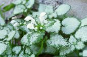 photo Garden Flowers Lamium, Dead Nettle white