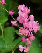 photo Garden Flowers Mexican Coral Vine, Coral Creeper, Honolulu Creeper, Corallita, Chinese Love Vine, Antigonon leptopus pink