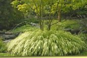 photo Garden Plants Hakone Grass, Japanese Forest Grass cereals, Hakonechloa light green