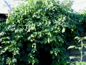 photo Garden Plants Hop leafy ornamentals, Humulus lupulus green