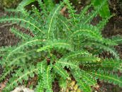 photo Garden Plants Hart's tongue fern, Asplenium green