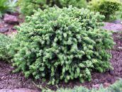 photo Garden Plants Alberta Spruce, Black Hills Spruce, White Spruce, Canadian Spruce, Picea glauca light blue