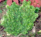 photo Garden Plants Alberta Spruce, Black Hills Spruce, White Spruce, Canadian Spruce, Picea glauca green