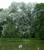 silvery Willow