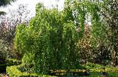 photo Garden Plants Katsura Tree, Cercidiphyllum green
