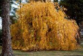 photo Garden Plants Katsura Tree, Cercidiphyllum yellow