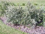 photo Garden Plants Silver Buffalo Berry, , Foamberry Soapberry, Soopalollie, Canadian Buffaloberry, Shepherdia silvery