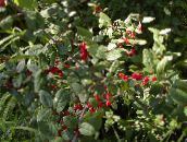 photo Garden Plants Silver Buffalo Berry, , Foamberry Soapberry, Soopalollie, Canadian Buffaloberry, Shepherdia green
