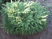 photo Garden Plants Birdsnest spruce, Norway Spruce, Picea abies light blue