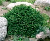 photo Garden Plants Birdsnest spruce, Norway Spruce, Picea abies green