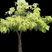 photo Indoor plants Pisonia tree light green
