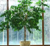 photo Indoor plants Pisonia tree green