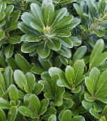 green Japanese Laurel, Pittosporum tobira Shrub