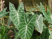 photo Indoor plants Malanga, Yautia, Xanthosoma motley