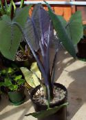 photo Indoor plants Malanga, Yautia, Xanthosoma dark green